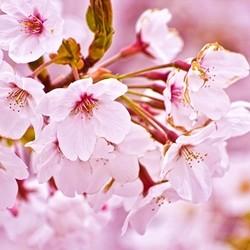 Cherry Blossom (PG)